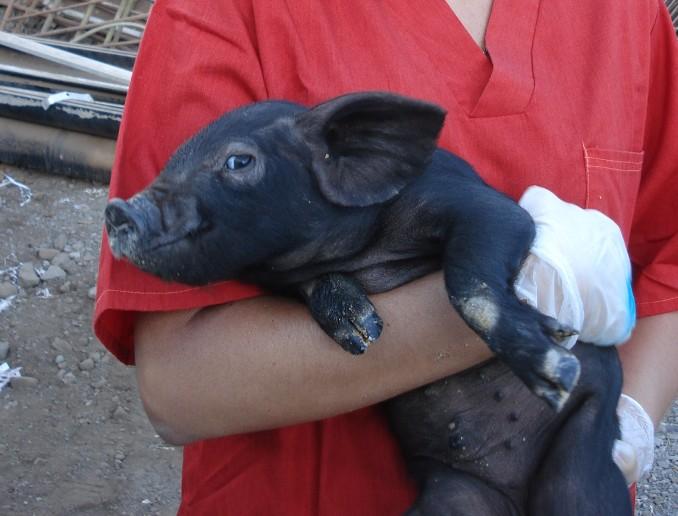 Cerdo Negro_092518